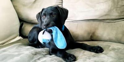 cucciolo con gioco sul divano