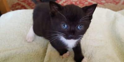 black and white kitten on white blanket