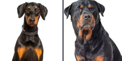 Doberman y Rottweiler sobre fondo blanco