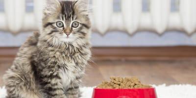 gatito atigrado junto a un tazón de croquetas