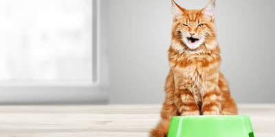Ginger Maine Coon in front of food bowl