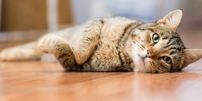 Cómo ayudar a tu gato enfermo del hígado