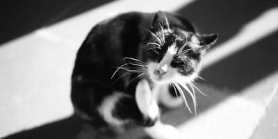 Cómo quitarle las pulgas a un gato: los remedios eficaces y seguros