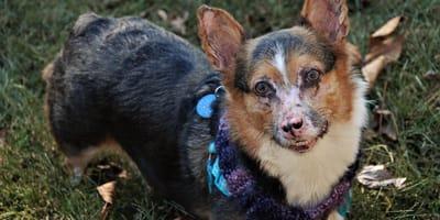 Seltene Hauterkrankung: Pemphigus beim Hund