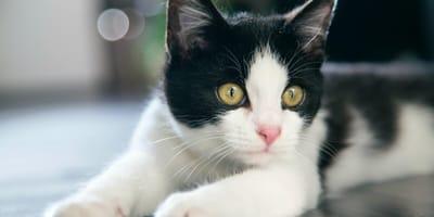 gatto bianco e nero in peso ideale