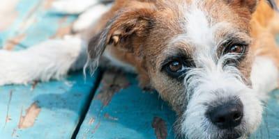Come si accudisce un cane con demenza senile?