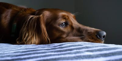 Anaemia in dogs: symptoms, causes, treatment