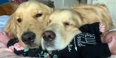 golden retrievers resting on baby
