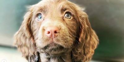 brown spaniel puppy