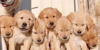 golden retriever puppies sitting in line