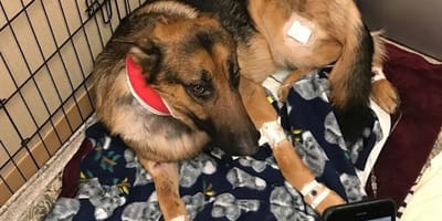 wounded german shepherd in bandages