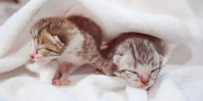 Qué tener en cuenta al desparasitar un gato recién nacido