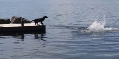 Clever Lab thinks his owner is drowning and rescues him in the most hilarious way