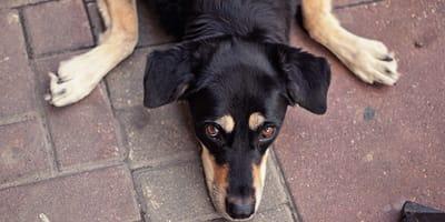 Perro mestizo: descubre las ventajas de los perros sin raza