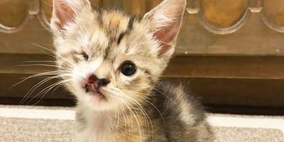 grey kitten with facial deformity