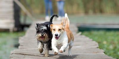 Perros corriendo