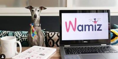 Elton, Italian Greyhound sits proudly in Wamiz office