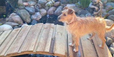 Dog walks over home made bridge
