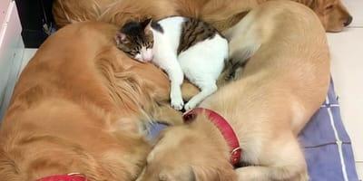 cat sleeping on golden retrievers