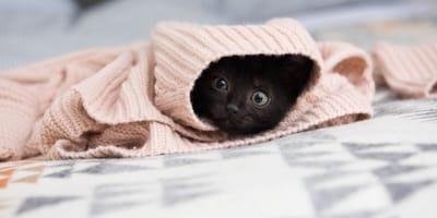 Schwarzes Kätzchen in rosa Decke eingerollt