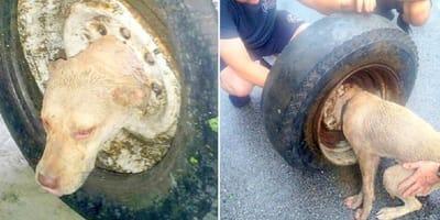 Hund steckt mit Kopf in Reifen fest