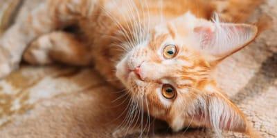 como identificar una gata en celo