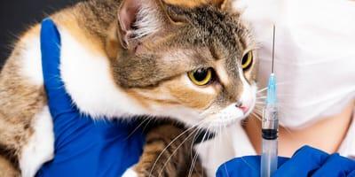 Katze sieht Spritze an