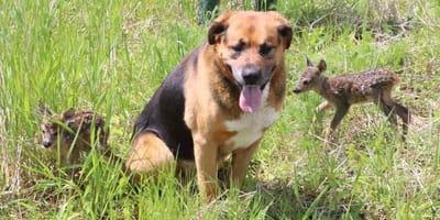 Przemyśl: dwa psy spotykają w lesie osierocone sarniątka. To, co robią, aby je uratować jest niewiarygodne!