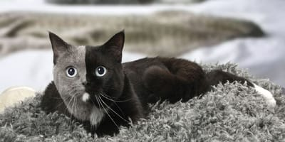 Gato quimera: descubre el misterio de estos hermosos mininos con dos caras