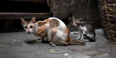 protectoras piden control colonias felinas cordoba