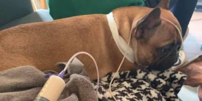 The bulldog died after ingesting a common household plant