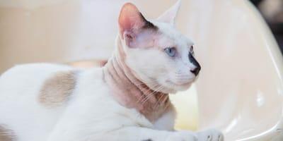 Achtung, ansteckend: Hautpilz bei Katzen