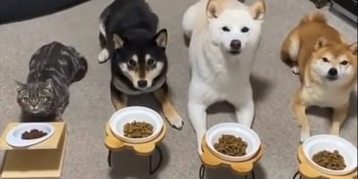 cat and three shiba inus waiting in front of food bowls