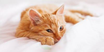 Orange Katze in weißen Laken