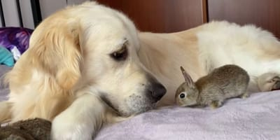 Watch: Golden Retriever adopts 22-day-old bunnies