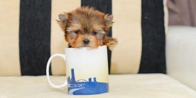 Mini hondenrassen: Alles wat je moet weten over theekophonden