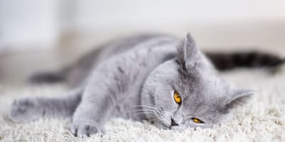gato gris acostado en la alfombra