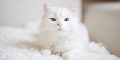 gato blanco sobre una manta