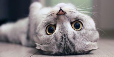 occhi di gatto scottish fold