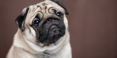Hot spots on dogs: causes, symptoms and treatment