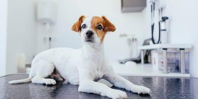 perro consultorio veterinario