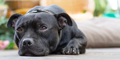 Pyometra in dogs: definition, symptoms and treatment