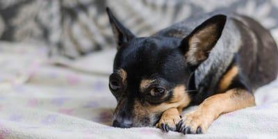 cane su divano
