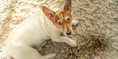 Jack Russell dog who peed on the carpet