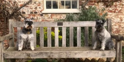 schnauzers sitting on opposite sides of a wooden bench