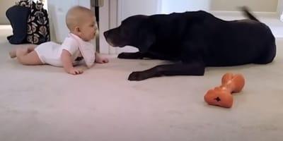 neonata-faccia-a-faccia-con-labrador-color-cioccolato