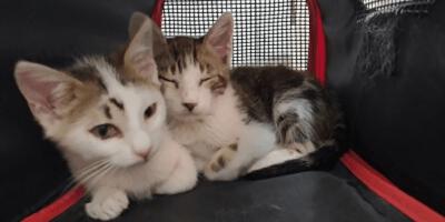 dos gatitos en adopcion