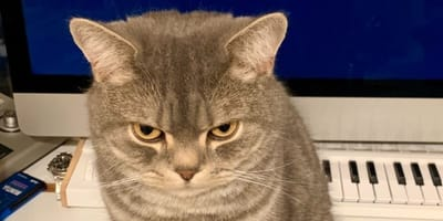 gatto-grigio-arrabbiato