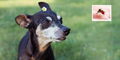 Alerta sobre Leishmaniasis en verano en España: si tu perro está infectado la ley te obliga a tratarlo