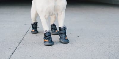 Dog wearing Fresh Pawz shoes